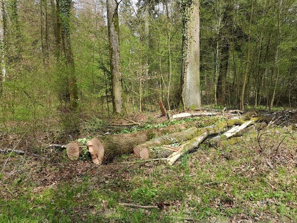 Timbered trees lined up in the forest. Tranquil Scene Forest Scene Timbered Trees Lined Up Forest Forestry Industry Lumber Industry Tree Grass Close-up WoodLand Fallen Tree Deforestation Timber
