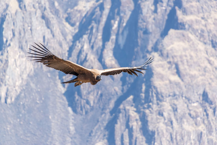 Andean Condor Flying In Mid-Air Against Mountain