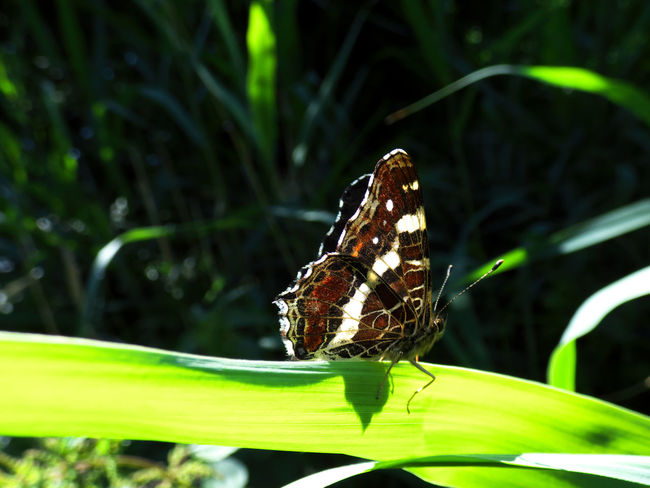 Animal Animal Themes Animal Wildlife Animal Wing Animals In The Wild Beauty In Nature Butterfly Butterfly - Insect Close-up Day Focus On Foreground Green Color Insect Invertebrate Leaf Nature No People One Animal Outdoors Perching Plant Plant Part