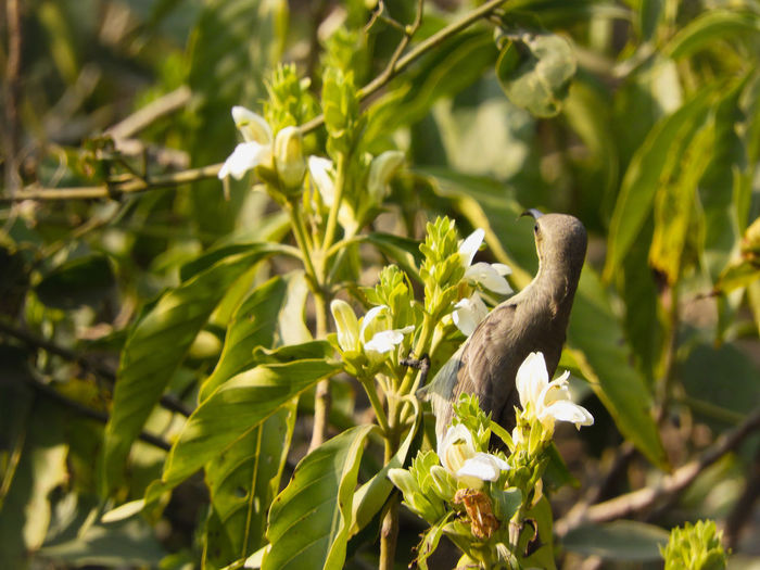 purple Sunbird (female) Perched Sitting Beak Sunbird Purple Sunbird Purple Sunbird Female Pollination Leaf Tree Close-up Animal Themes Plant Branch Blooming Woods Flower Tree Perching