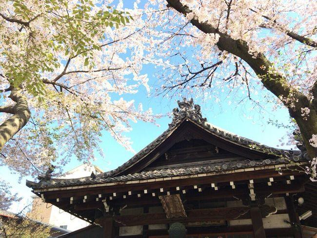 Kyoto,japan Sakura Kyoto Sakura 2017 Kyoto Sakura Cherry Blossoms Kyoto Sky Kyoto Sakura Sky Kyoto Sakura