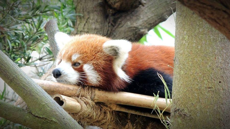 Red Panda Panda