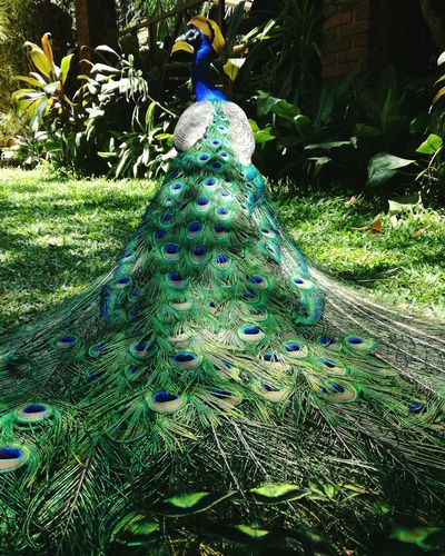 Nature Green Color No People Blue Peacock Peacock Feathers Peacock Tail Peacock Portrait Love Nature Day
