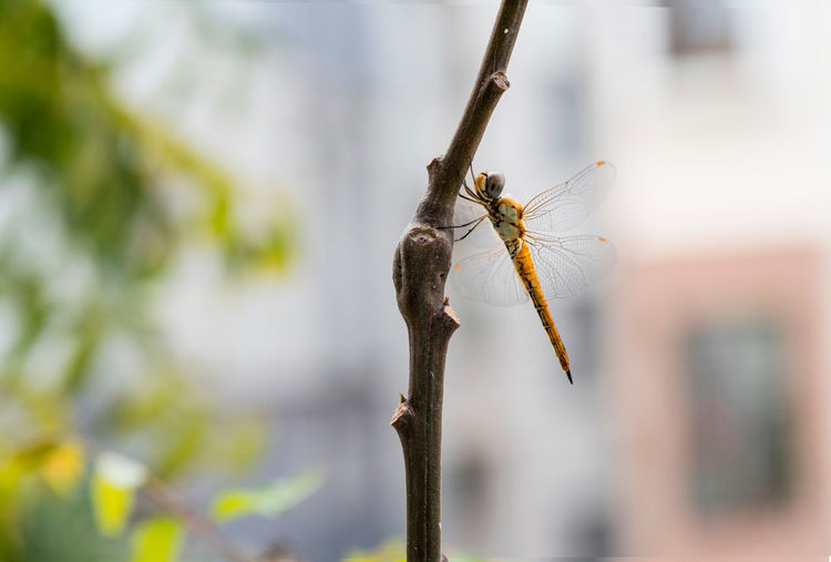 dragonfly on neem tree Animal Themes Animal Wildlife Animals In The Wild Beauty In Nature Close-up Day Dragonfly Focus On Foreground Insect Nature Neem Neem Tree No People One Animal Outdoors