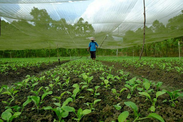 Man Spraying Fertilizer On Crop At Farm