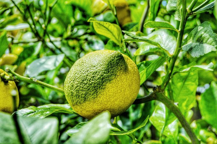 Fruit Growth Food Freshness Green Color Leaf Food And Drink Unripe Nature Healthy Eating Plant Tree Outdoors Citrus Fruit Close-up No People Day Beauty In Nature Lemontree Visual Feast