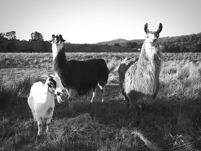 Goat And Llama Standing On Grassy Field Against Sky