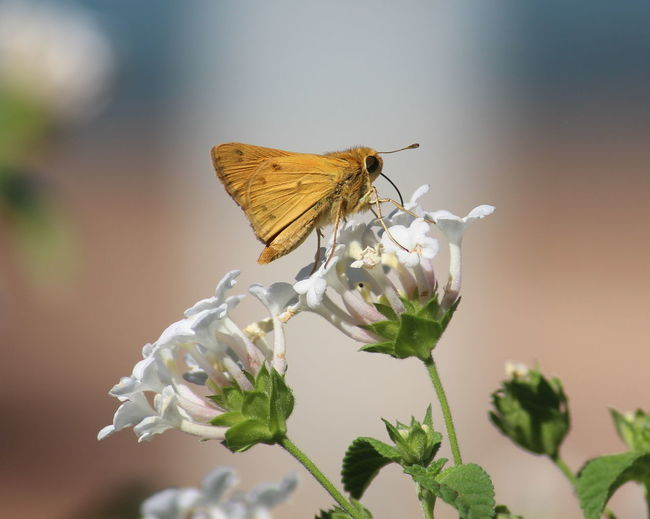 Close-Up Of Moth Pollinating On White Flower