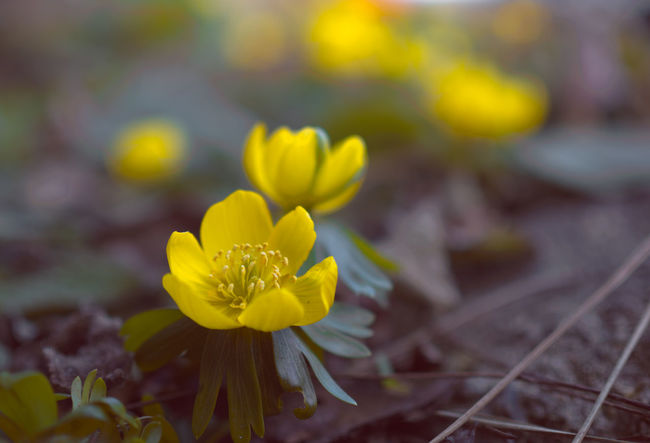 Eranthis. I am playing with color filters, maybe this picture, that I shared another version of yesterday, got a little too much, maybe not. What do you think? Eranthis Sign Of Spring Spring Signs Spring Spring Flowers Spring Is Coming  Copenhagen Copenhagen Denmark Denmark København østerbro Flower Yellow Fragility Plant Flower Head Nature Blossom Beauty Close-up Beauty In Nature Outdoors Growth No People Freshness The Great Outdoors - 2018 EyeEm Awards
