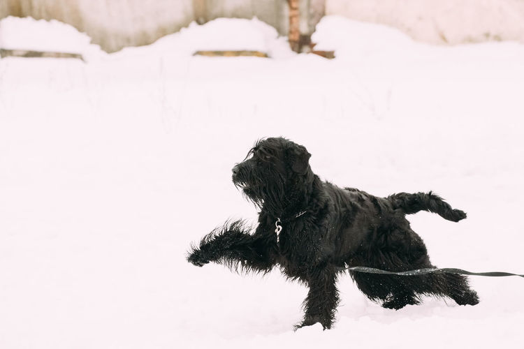 Funny Young Black Giant Schnauzer Or Riesenschnauzer Dog Fast Running Outdoor In Snow, Winter Season. Playful Pet Outdoors. Dog Pets Snow Winter Purebred Breed Pedigree Animal Field Funny Young Giant Schnauzer Black Riesenschnauzer Running Playful