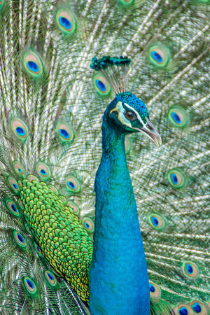 The colourful bird-peacock Animal Background; Beak; Beautiful Bird Bright; Brown Eyes; Buddha Temple; Ceremony; Close Up; Cockrel; Colorful; Coxcomb; Crest Of Bird; Crown; Elegance; Eye Shadow; Green Majestic; Peacock; Pride; Tail; Thailand Tropical; Zoo;