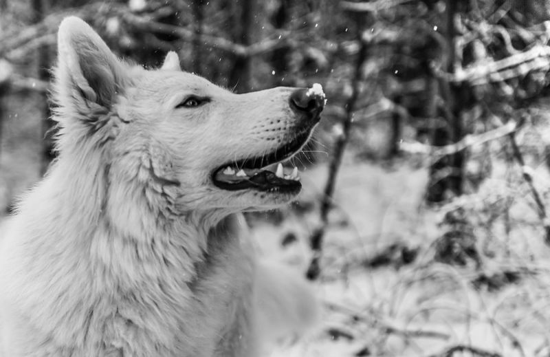Snow Blackandwhite Black And White Beautiful Day EyeEm Best Shots EyeEmNewHere EyeEm Selects EyeEm Gallery Eye4photography  First Eyeem Photo Monochrome Light Outdoors Pets Snow Winter Dog Cold Temperature Close-up Canine Animal Nose Snout Purebred Dog Animal Ear Animal Mouth Animal Tongue