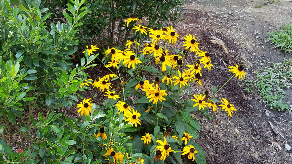 Black eyes susan daisies Yellow Flower Fragility Freshness Growth Petal Plant Beauty In Nature Nature Flower Head Day Blooming Green Color Botany In Bloom Outdoors Blossom Vibrant Color Springtime Uncultivated Black Eyed Susie's River Walk Bradenton FL No People Non-urban Scene