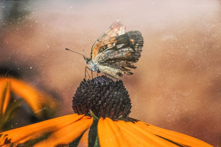 Close-Up Of Butterfly On Coneflower Blooming Outdoors