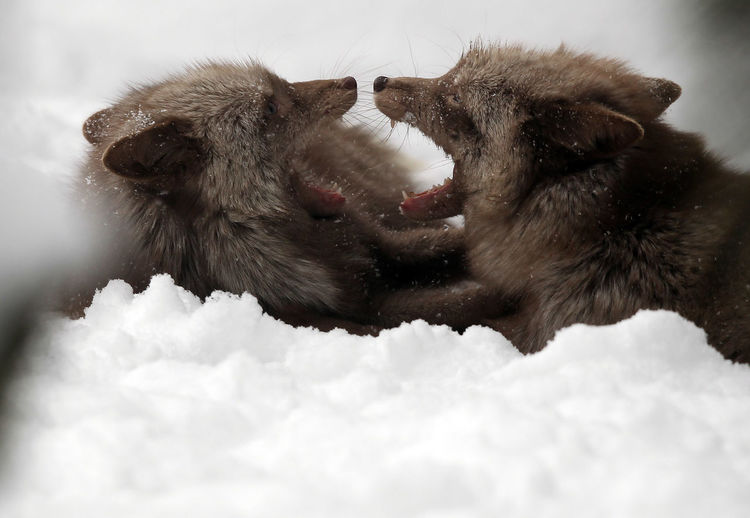 Close-up of foxes in snow