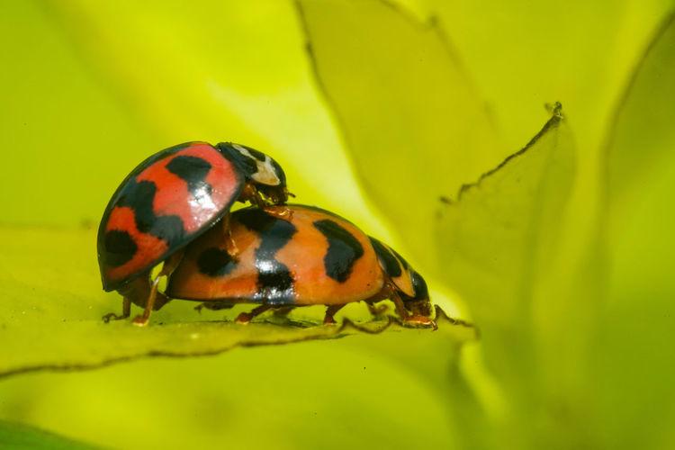 六條瓢蟲交尾 Insect