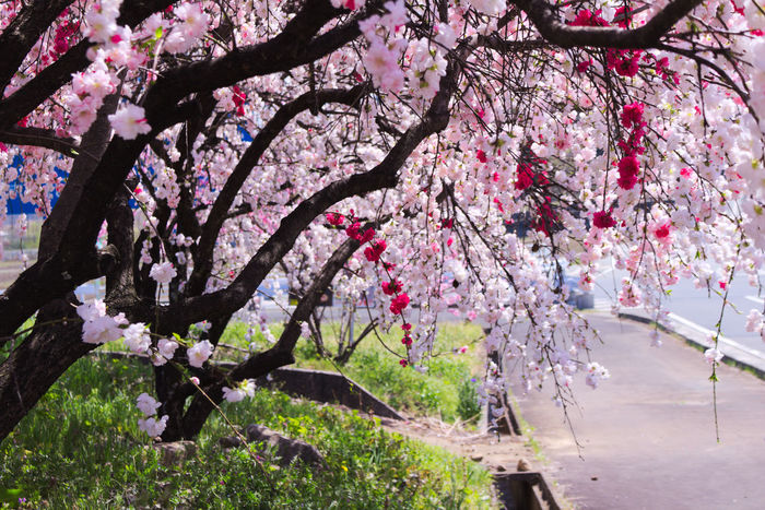 Beauty In Nature Blossom Branch Colorful Flower Flowers Growth In Bloom Nature Outdoors Peach Peach Blossom Pink Pink Color Pink Flower Plants Spring Tree カラフル ピンク ピンクの花 春 桃の花 植物 源平桃