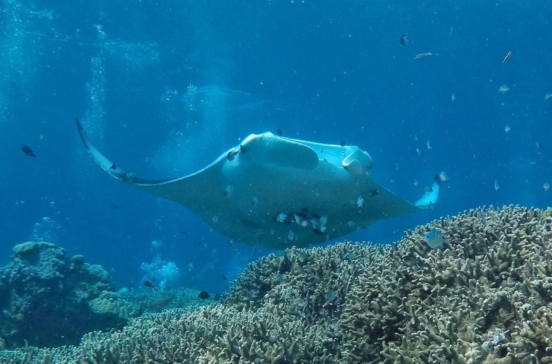 Close-Up Of Manta Ray Underwater