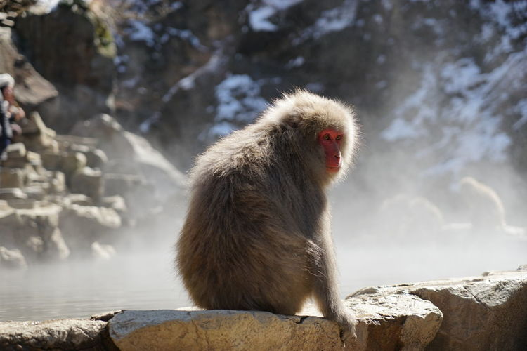 snow monkey Animal Animal Head  Animal Themes Beauty In Nature Black Color Close-up Day Focus On Foreground Mammal Nature No People Outdoors Selective Focus Snow Monkey
