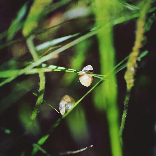 Escargot Herbe