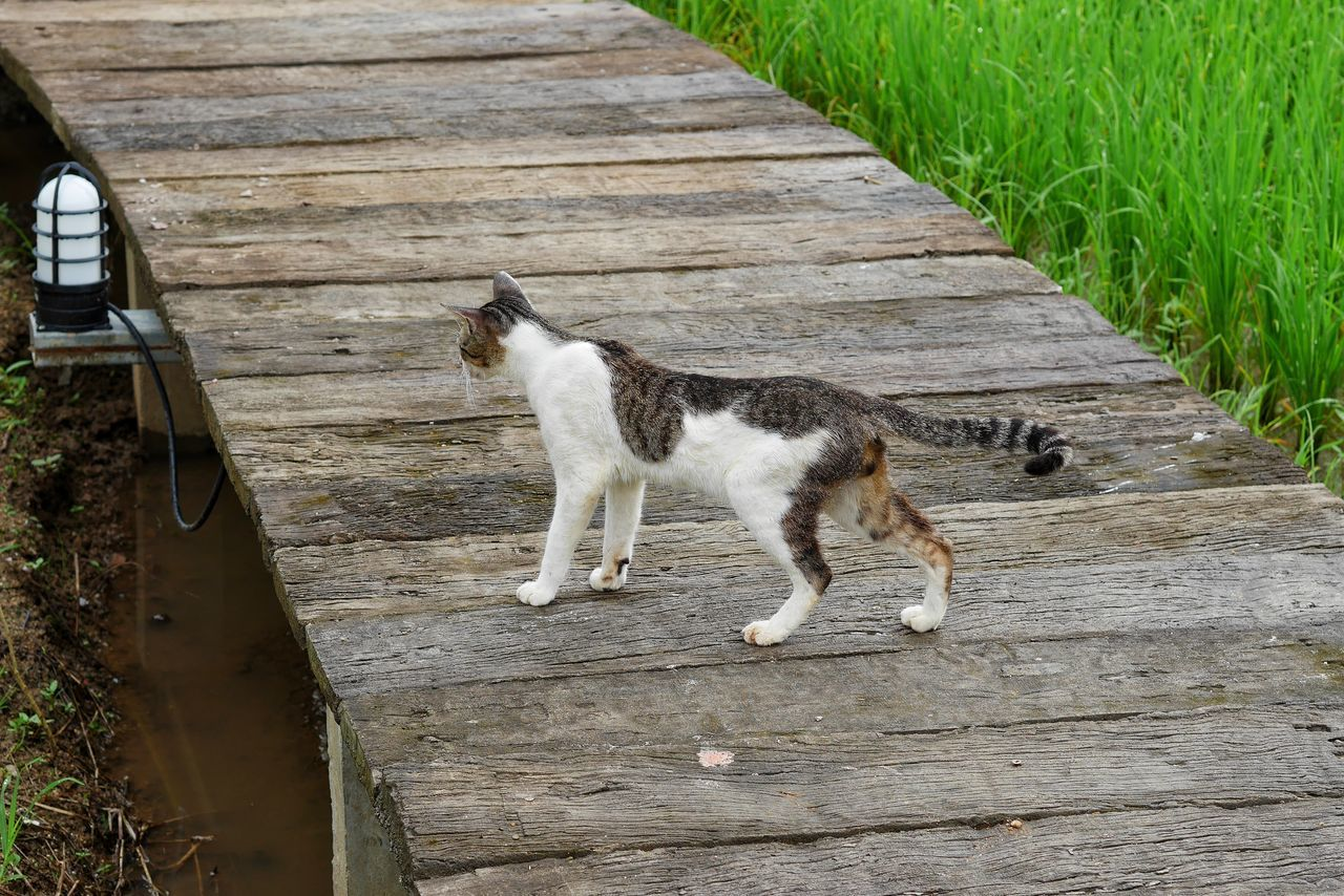 mammal, domestic, animal, pets, domestic animals, animal themes, cat, one animal, domestic cat, feline, vertebrate, wood - material, no people, day, footpath, plant, nature, wood, looking, outdoors, whisker