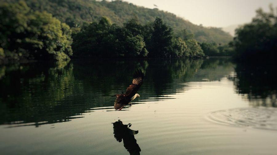 Хищник Bird Photography Goa Eagle - Bird Eagle Water Tree Reflection Lake Nature Waterfront Animal Wildlife Animal Themes Beauty In Nature Animals In The Wild