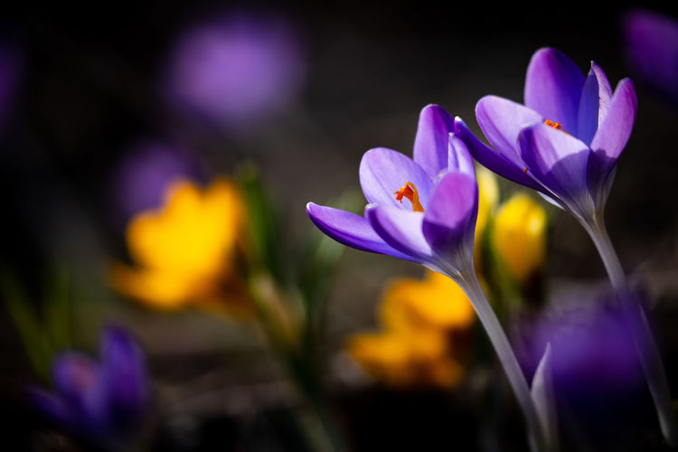 Close-up of purple crocus flowers