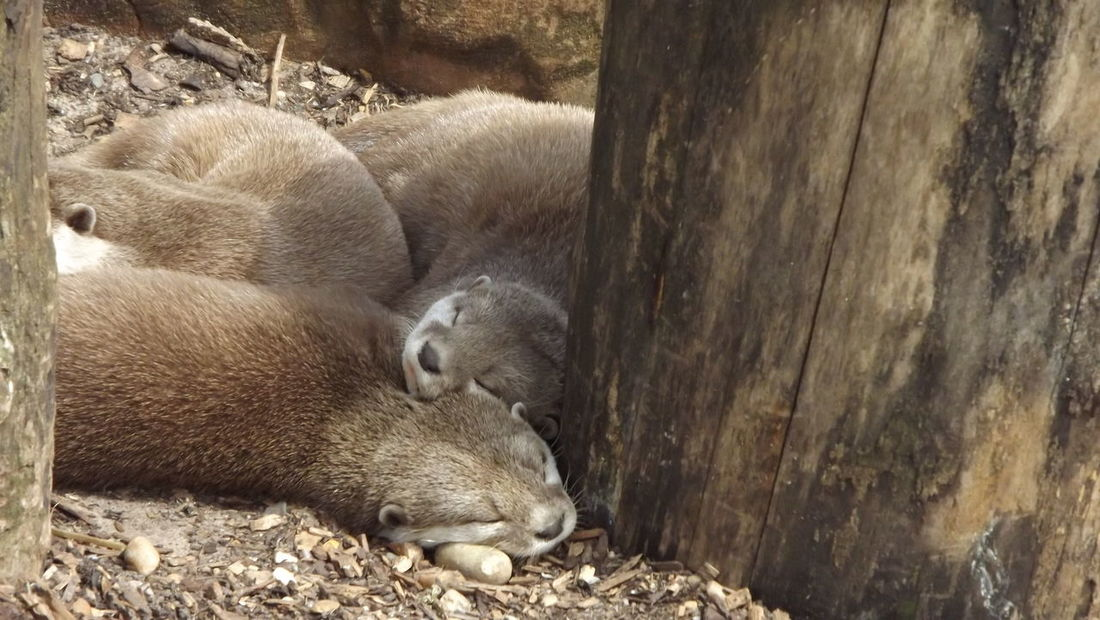 Otter Otters! Animal Animal Family Animal Wildlife Day Eyes Closed  Group Of Animals Nature No People Outdoors Resting Sleeping Young Animal