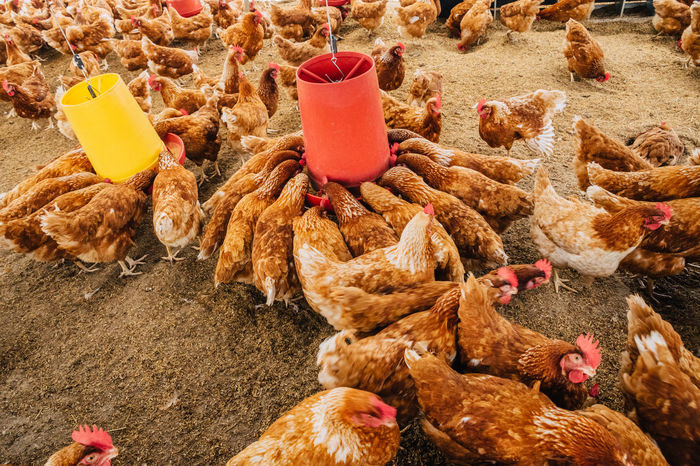 Chicken Chickens Farm Animal Themes Bird Close-up Day Domestic Animals Farm Chicken Farm Industry Freshness Healthy Eating Industrial Farming Livestock Nature No People Outdoors Poltry Raising Chickens