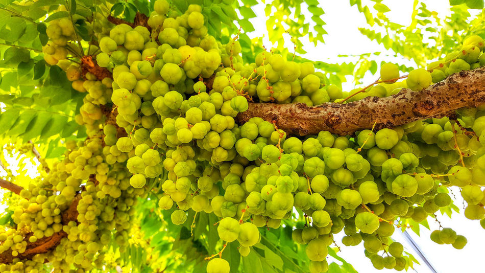 Farmland Sour Tasty Yummy Cluster Bunch Organic Food Garden Home Raw Food Delicious Salt Plant Star Gooseberry Green Color Nature Fruit Growth Food And Drink Agriculture Beauty In Nature Plant Leaf Day No People Freshness Outdoors Healthy Eating Tree Food