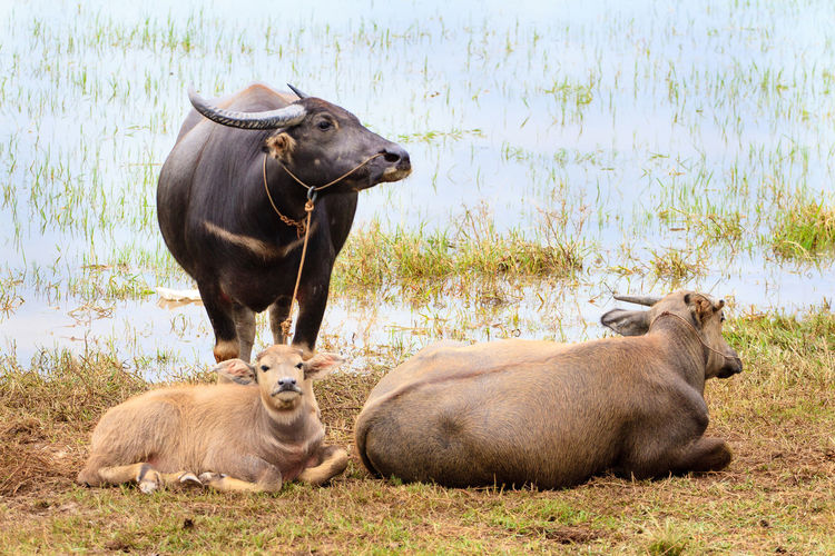 View Of Cattle Resting By Water