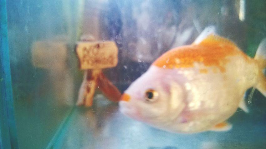 Swimming Goldfish Indoors  Fish Animal Themes Pets Water Underwater