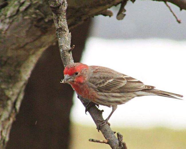 Finch House Finch (male) Bird Photography Bird Watching Birds_n_branches Birds_collection Birds Wildlife & Nature Wildlife