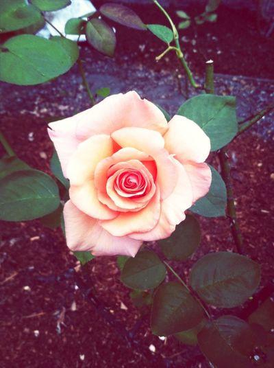 #rosesforzoe