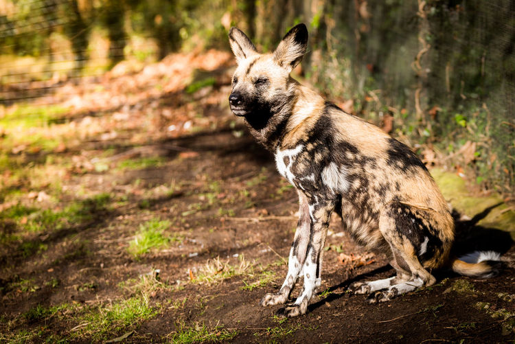 Side View Of African Wild Dog