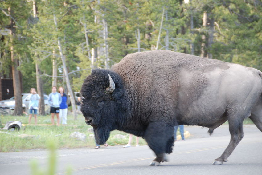 Animal Themes Animals In The Wild Beauty Bison Bison In Natural Environment Day Fresh On Eyeem  Majestic Mammal Nature Nature No People One Animal Outdoor Photography Powerful Single Bison Standing Yellowstone National Park