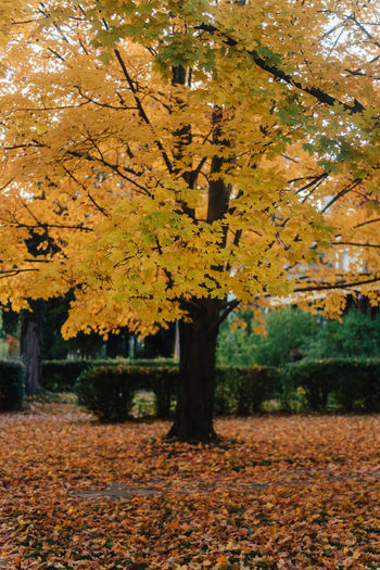 This Is Strength Autumn Tree Change Plant Plant Part Leaf Beauty In Nature Nature Growth Day Park Orange Color No People Outdoors Yellow Falling Park - Man Made Space Branch Focus On Foreground Tranquility Leaves Fall Autumn Collection Maple Leaf Natural Condition