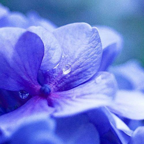 あじさい 紫陽花-hydrangea- 紫陽花 紫陽花Photo 紫陽花2015Photo 紫陽花2015 Hydrangeas Flowers Flower Macro_collection
