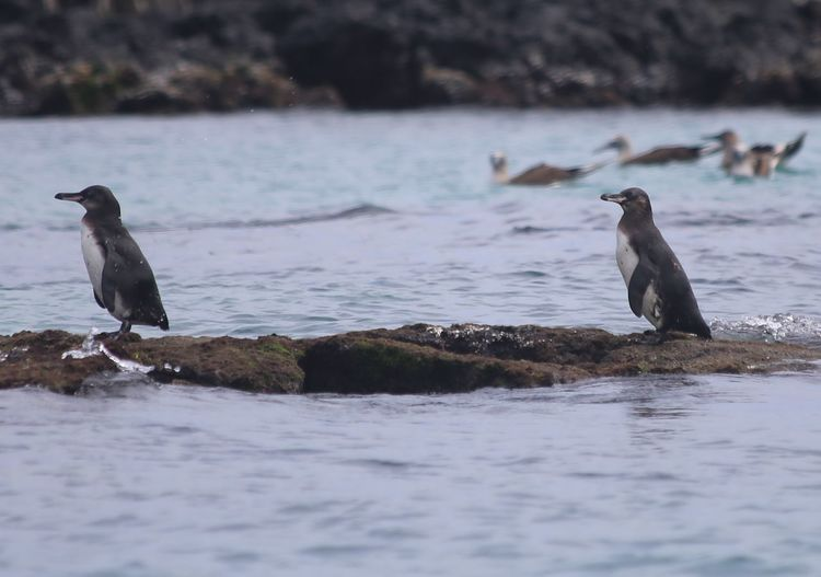 Humboldt Penguins On Rock In Sea