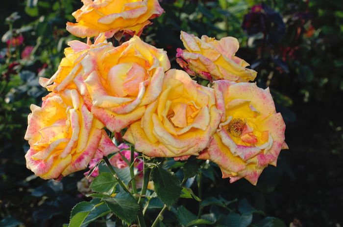 Yellow roses Nature Beauty In Nature Close-up No People Outdoors Animal Wildlife Flower Biology Beauty Day Flower Head Shchigry Kursk