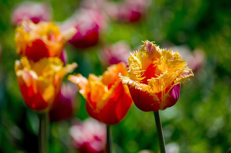 beautiful botany in springtime, with this row of colorful parrot tulips Flowering Plant Flower Fragility Vulnerability  Beauty In Nature Plant Freshness Close-up Petal Growth Flower Head Inflorescence Focus On Foreground Nature Yellow No People Day Plant Stem Outdoors Botany Spring Parrot Tulips Orange Color Nature Season  Capture Tomorrow