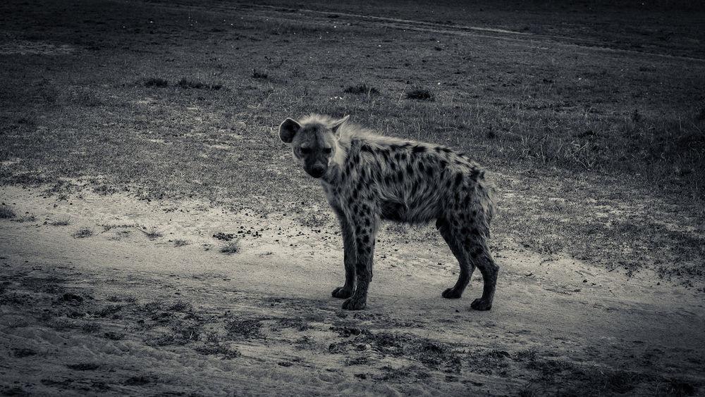 Animal Animal Themes Black & White Carnivore Day Game Reserve Hyena Kenya Maasai Mara Mammal Nature Outdoors Wild Zoology