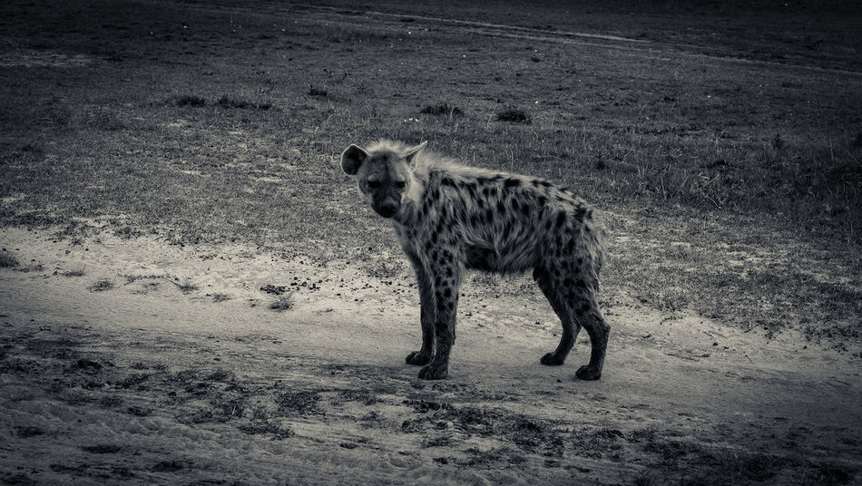 Animal Animal Themes Black & White Carnivore Day Game Reserve Hyena Kenya Maasai Mara Mammal Nature Outdoors Wild Zoology