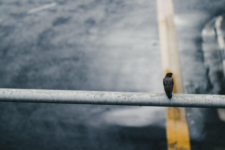 Raven Perching On Railing