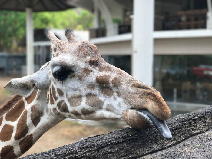Giraffe by iPhone 7 Plus Giraffe Chiangmai Night Safari Animals Chiang Mai | Thailand Nature Outdoors Close-up Zoo