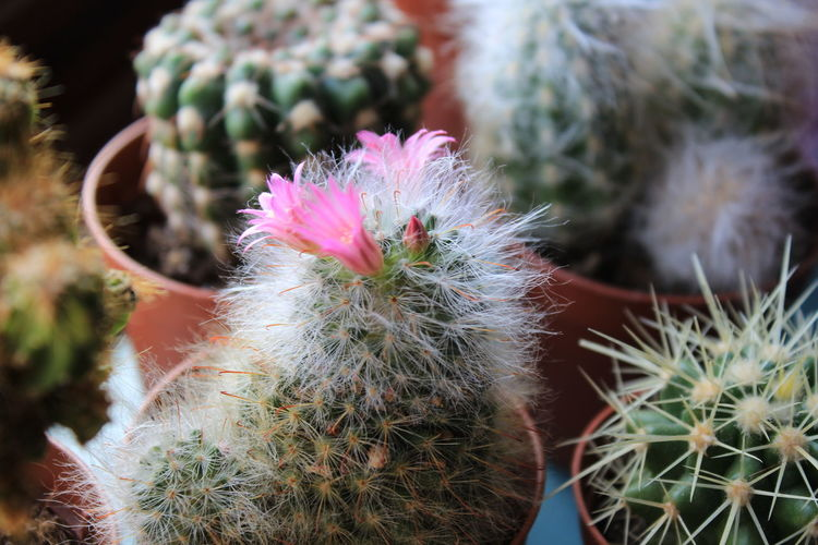 Close-Up Of Pink Cactus Flowers
