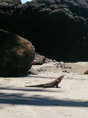 Iguana on the Beach Manuel Antonio np Costa Rica (c) 2015 Shangita Bose All Rights Reserved Snbcr The KIOMI Collection The Great Outdoors With Adobe Nature's Diversities