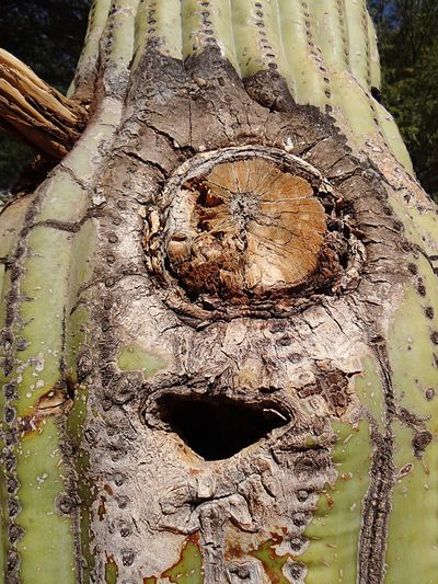 Saguaro cactus with a mouth and cyclops eye. Close-up Wood - Material No People Day Outdoors Cracked Nature Focus On Foreground Saguaro Cactus Smiling Saguaro Cactus EyeEmNewHere Up Close Saguaro Cactus Saguaro Cactus Boot Hole In Cactus Cactus Hole Cactus Boot Saguaro Cacti