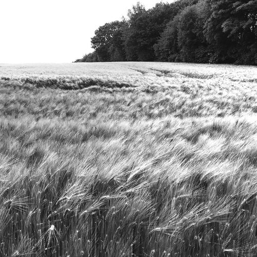Field Nature Growth Landscape Agriculture No People Rural Scene Tranquility Tree Outdoors Tranquil Scene Day Grass Scenics Beauty In Nature Wheat Plant Cereal Plant Sky Clear Sky Lightful Schwarzweiß Black And White Gerste Grass