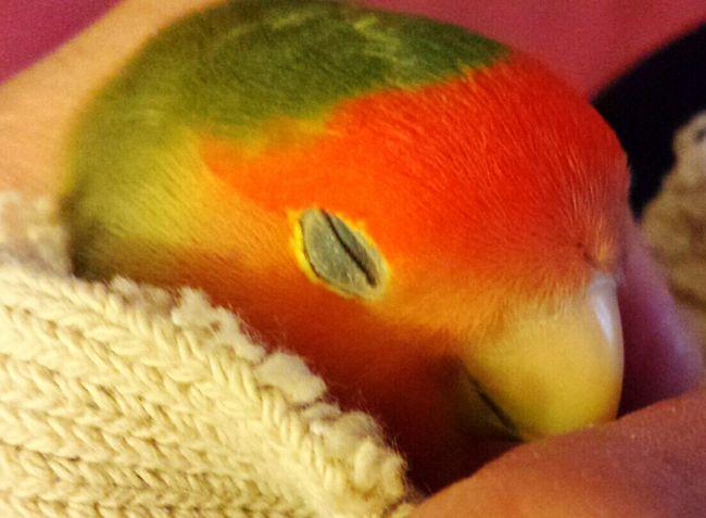 Sleep Birdie Cute Pets Lovebird Peachface Lovebird Parrot Lovebirds Sleeping Bird